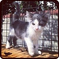 Adopt A Pet :: Macushla - Los Angeles, CA