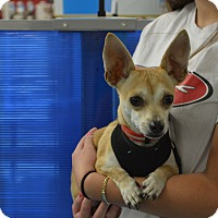 Chihuahua Mix Puppy for adoption in Lodi, California - Sammy