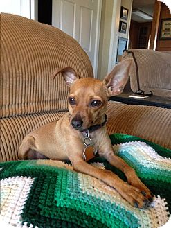Chihuahua/Miniature Pinscher Mix Dog for adoption in Kittery, Maine - Fiona