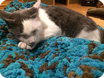 Domestic Shorthair Kitten for adoption in Princeton, Minnesota - Daphnie