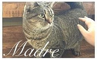 Domestic Shorthair Cat for adoption in Williamston, North Carolina - Madre
