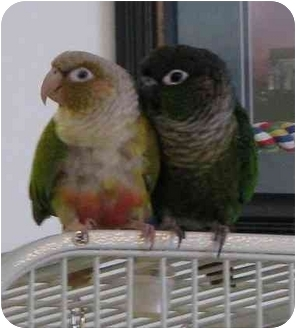 Conure for adoption in Salt Lake City, Utah - Kohdi & Loki