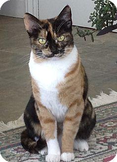 Domestic Shorthair Cat for adoption in Davis, California - Cali