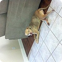 Adopt A Pet :: Ava, wonderful girl - Sacramento, CA