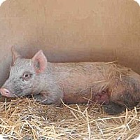 Pig (Farm) for adoption in West Los Angeles, California - Sophia