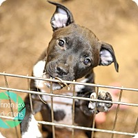 Adopt A Pet :: George Weasley - Gainesville, FL