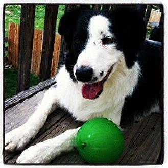 Border Collie Dog for adoption in Glenrock, Wyoming - Echo