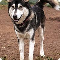 Adopt A Pet :: Ashki - Fairfax, VA