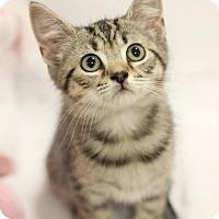 Adopt A Pet :: Skye $85 female (Kitten) - knoxville, TN