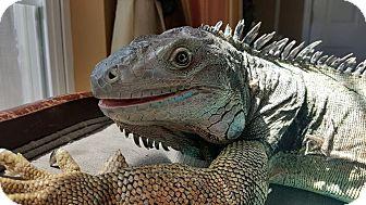 Iguana for adoption in Aurora, Illinois - Leonidas