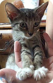 Domestic Shorthair Kitten for adoption in Brooklyn, New York - 2 Adorable Brown Tabby kittens: 1 girl & 1 b