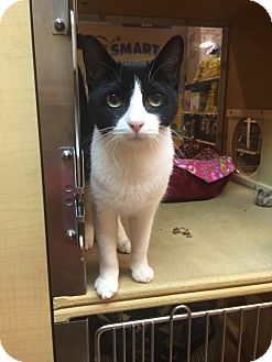 Domestic Shorthair Cat for adoption in Albany, New York - Priscilla