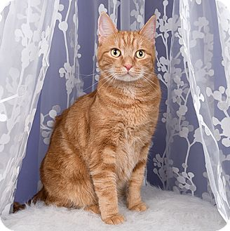 Domestic Shorthair Cat for adoption in Wilmington, Delaware - Tango