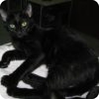Domestic Shorthair Cat for adoption in Powell, Ohio - Magellan