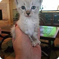 Adopt A Pet :: Kumo - Arlington, TX