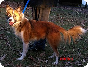 """Spitz (Unknown Type, Medium) Mix Dog for adoption in Williamsport, Maryland - Ralphie """"Icelandic Spitz"""""""