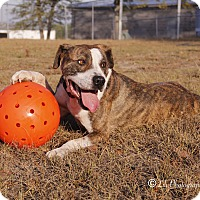 American Bulldog Mix Dog for adoption in Warner Robins, Georgia - Ed