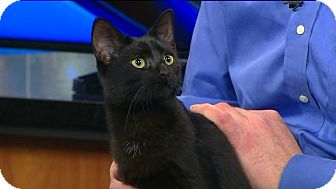 Domestic Shorthair Cat for adoption in Richmond, Virginia - Baby