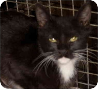 Domestic Shorthair Cat for adoption in Youngsville, Louisiana - Bethany