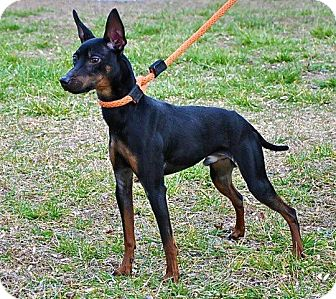 Miniature Pinscher Mix Dog for adoption in Myersville, Maryland - Sebastian
