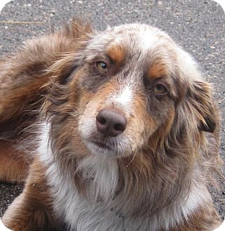 Australian Shepherd Dog for adoption in Minneapolis, Minnesota - Sherlock