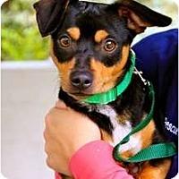 Adopt A Pet :: BooBoo - Mission Viejo, CA