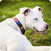 American Pit Bull Terrier Mix Dog for adoption in Dayton, Ohio - Luna