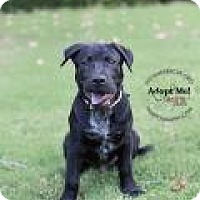 Adopt A Pet :: BALOO - Gilbert, AZ