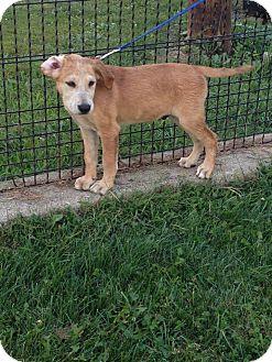 Collie/Labrador Retriever Mix Puppy for adoption in New Oxford, Pennsylvania - Twix