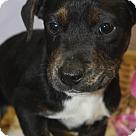 Adopt A Pet :: Jacoby
