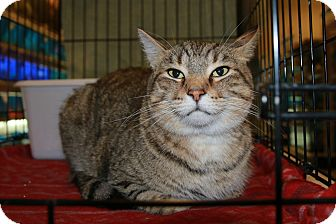 Domestic Shorthair Cat for adoption in Rochester, Minnesota - Frank