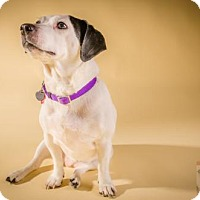 Jack Russell Terrier/Beagle Mix Dog for adoption in Livonia, Michigan - Jaylo