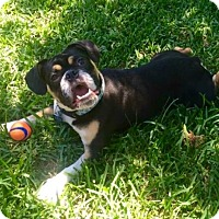 Adopt A Pet :: Sampson - Katy, TX
