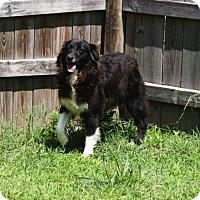 Adopt A Pet :: Birdy - Joplin, MO