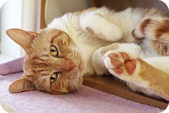 Domestic Shorthair Cat for adoption in Bellevue, Washington - Boy Boy