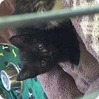 Domestic Shorthair Kitten for adoption in Dickson, Tennessee - Zeda