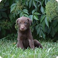 Adopt A Pet :: Cali - Groton, MA