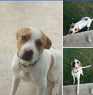 Labrador Retriever/American Pit Bull Terrier Mix Dog for adoption in Leon Valley, Texas - Chico