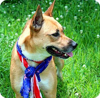 German Shepherd Dog/Labrador Retriever Mix Dog for adoption in Columbus, Ohio - A - JACKIE-O