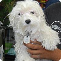 Adopt A Pet :: Caramel - Brooklyn, NY