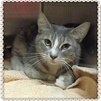 Domestic Shorthair Cat for adoption in Marietta, Georgia - FIREFLY