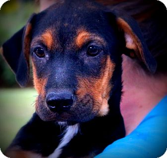 Boxer/Shepherd (Unknown Type) Mix Puppy for adoption in Glastonbury, Connecticut - Marco~ meet me!