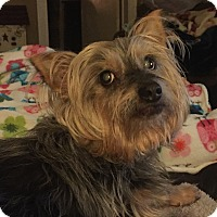 Yorkie, Yorkshire Terrier Dog for adoption in Canton, Illinois - Buddy