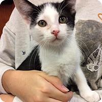 Adopt A Pet :: Cookies n Cream - Bonner Springs, KS