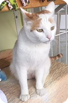 Turkish Van Cat for adoption in Sherman Oaks, California - Kane