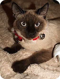 Siamese Cat for adoption in Encino, California - Cocoa