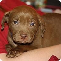 Adopt A Pet :: Nestle - Southbury, CT