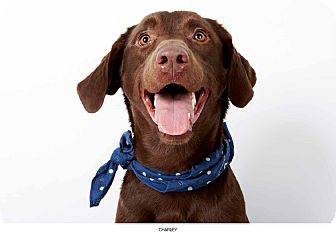 Labrador Retriever Dog for adoption in New York, New York - Charley