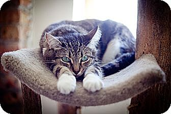 Domestic Shorthair Cat for adoption in Chicago, Illinois - Acadia