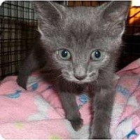 Adopt A Pet :: Mini Me - Acme, PA